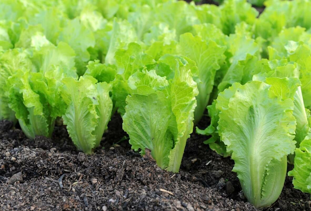 Для выращивания салата в теплице стоит использовать качественный грунт и натуральные удобрения