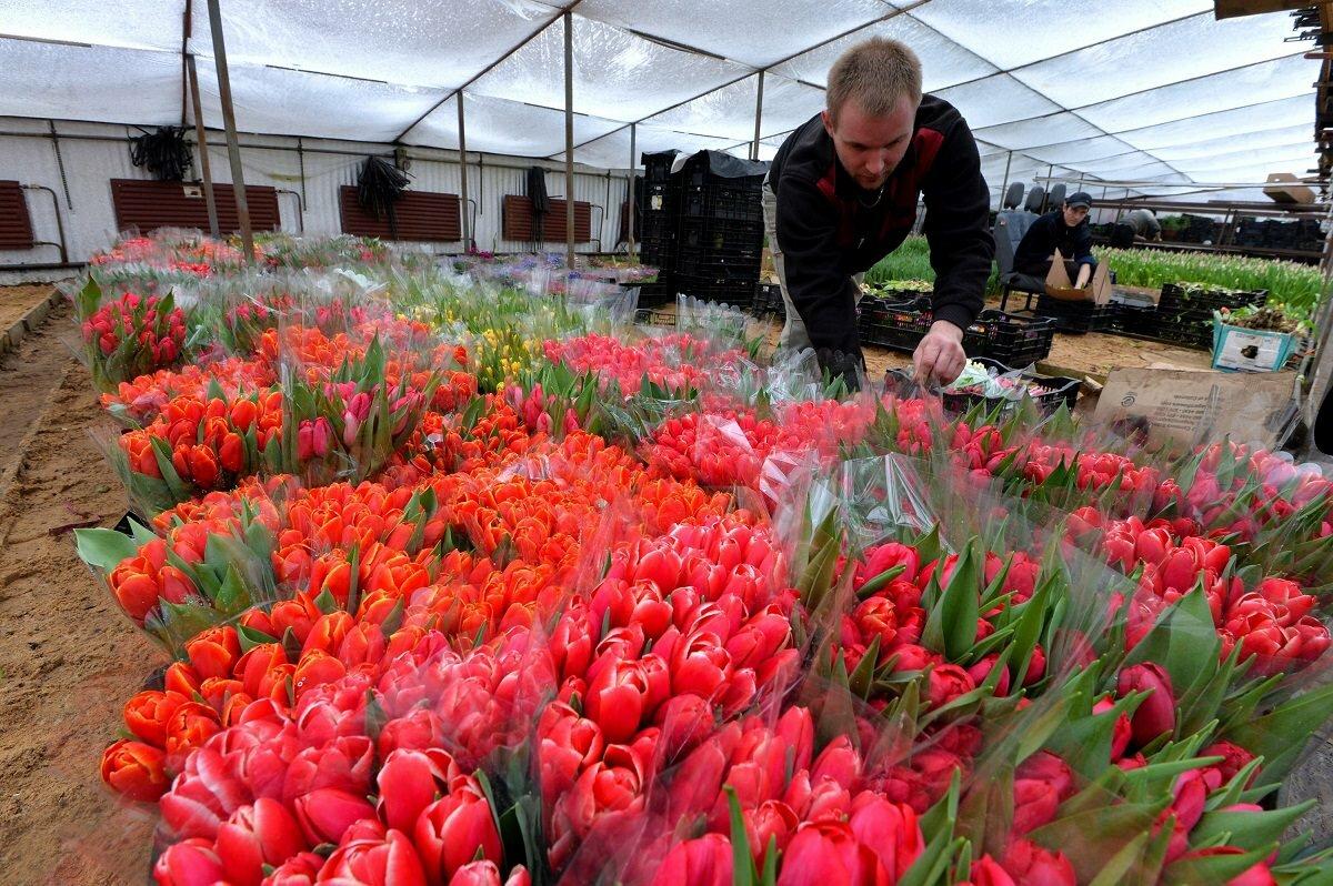 Перед тем как начать выращивать тюльпаны в теплице, следует изучить теоретическую часть процесса