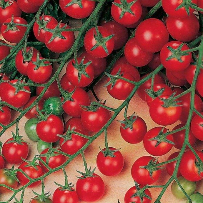 Томат Красная гроздь имеет огромное количество плодов на каждой ветке