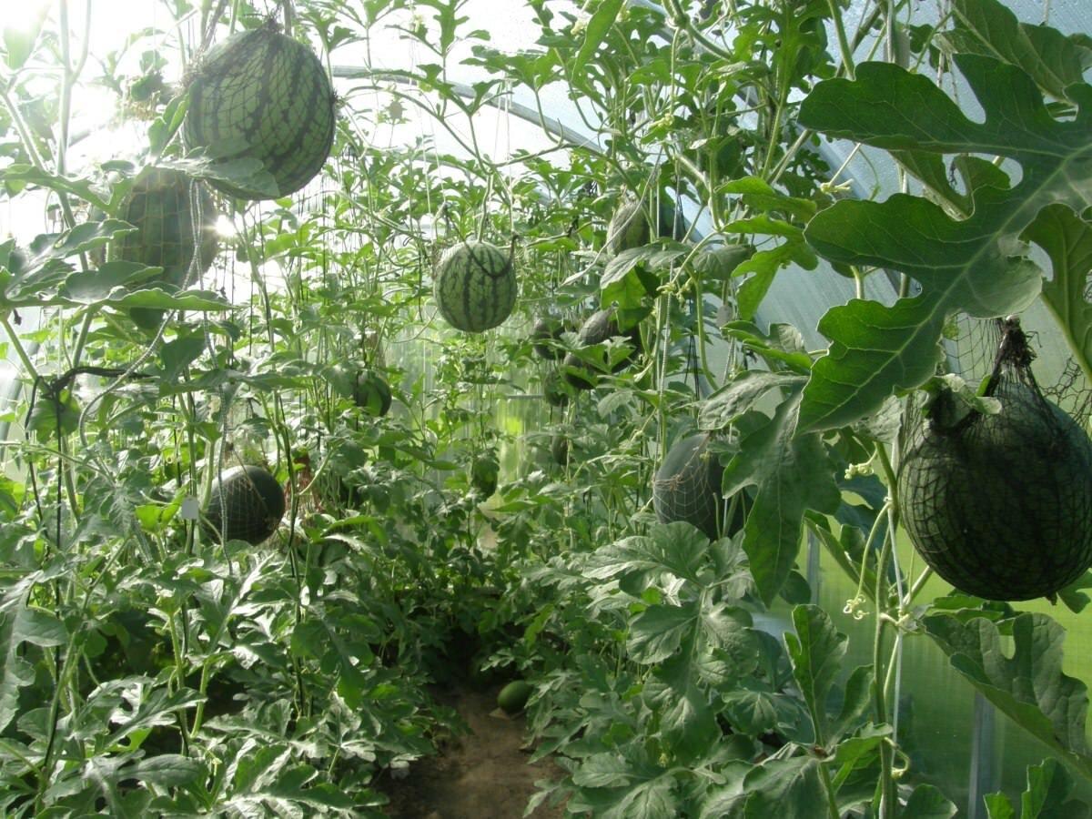 Для удержания арбузов рекомендуется применять обычные сетки, подвязанные к каркасу теплицы
