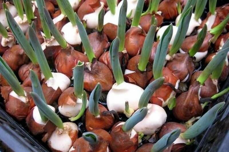 Выгонка тюльпанов к 8 марта