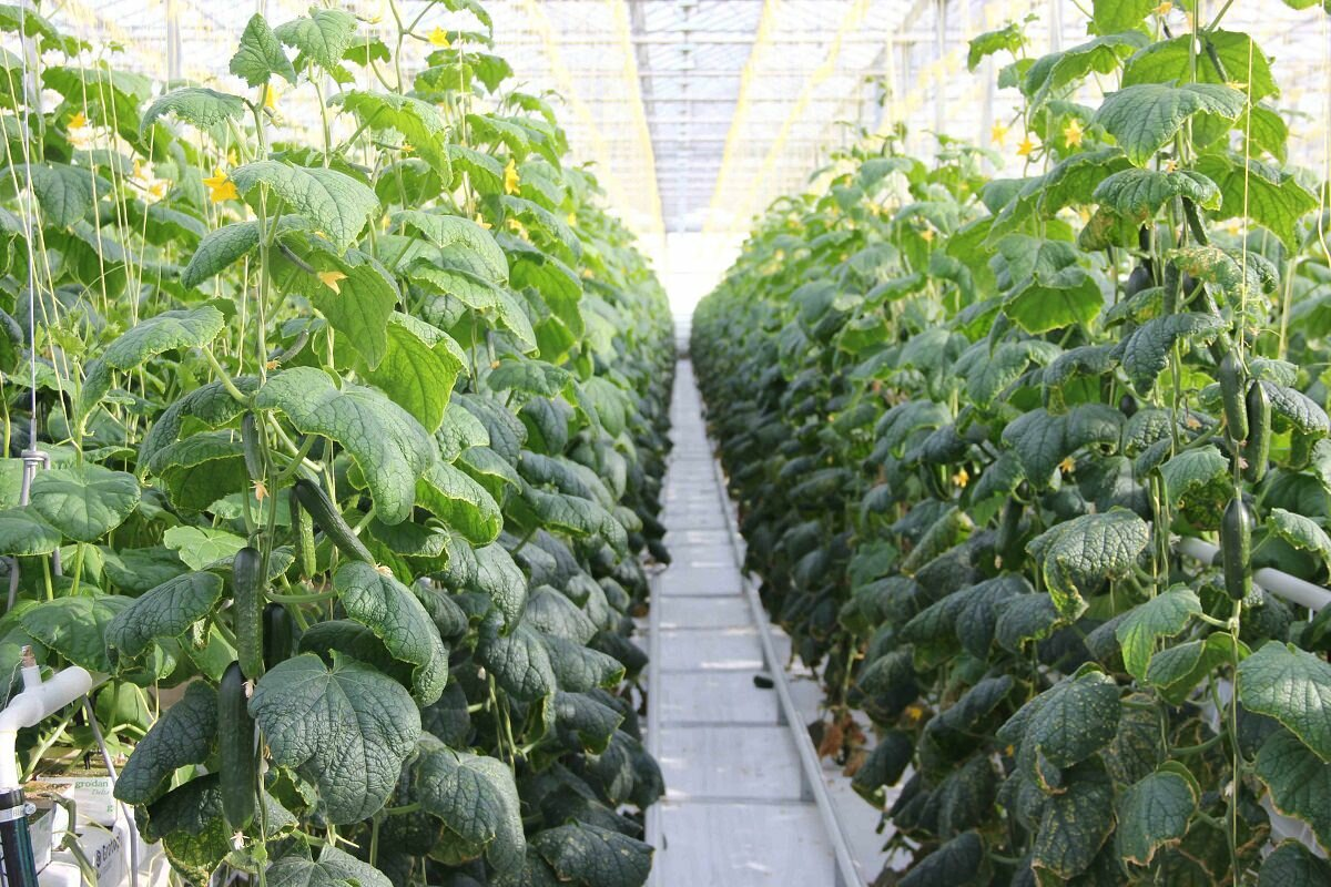 бизнес на выращивание огурцов в теплице