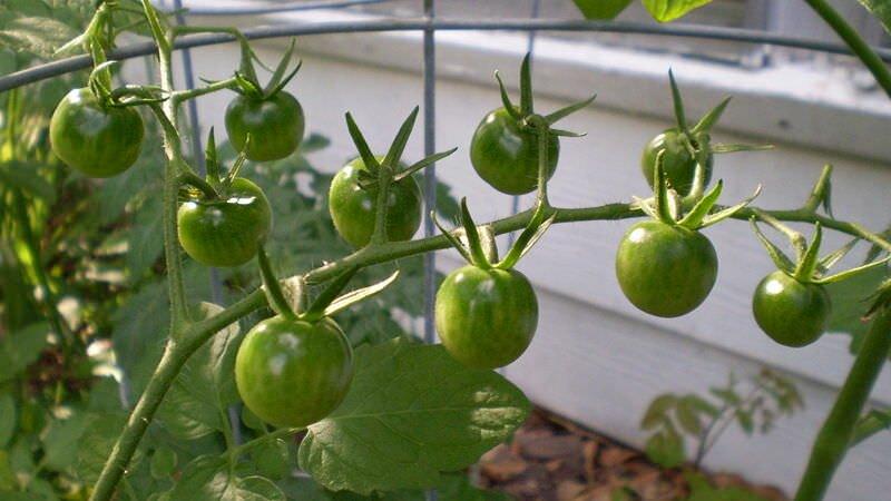 сколько помидор с куста в теплице