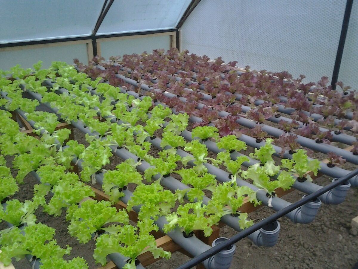 Практичным решением является выращивание салата в пластиковых трубах