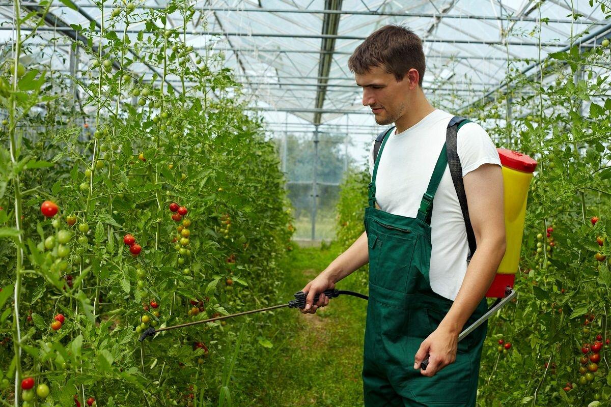 Защитить томат Новичок от болезней и вредителей можно с помощью химических препаратов, которые продаются в магазине для овощеводства