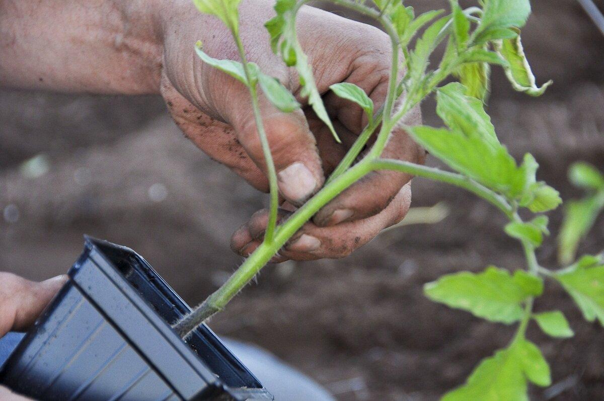 лечение рассады томатов от черной ножки