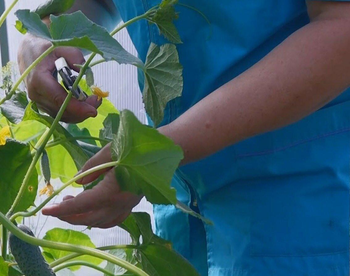 Перед началом прищипывания огурцов следует приобрести специальные инструменты в магазине для овощеводства