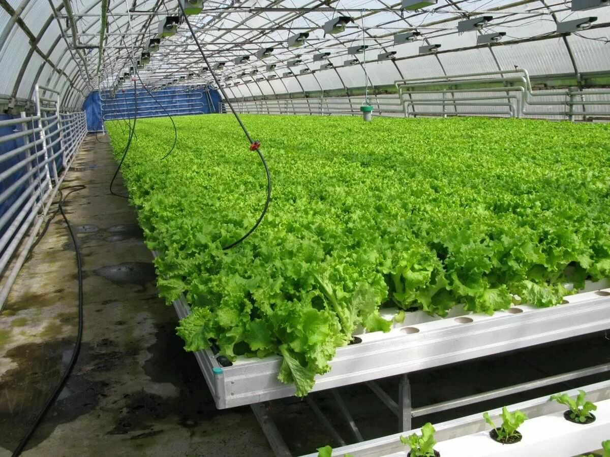 При массовом выращивании салата в теплице стоит приобрести систему автоматического полива