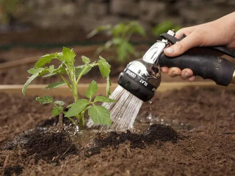 Подкармливать помидоры необходимо правильно, чтобы не нанести вред растениям