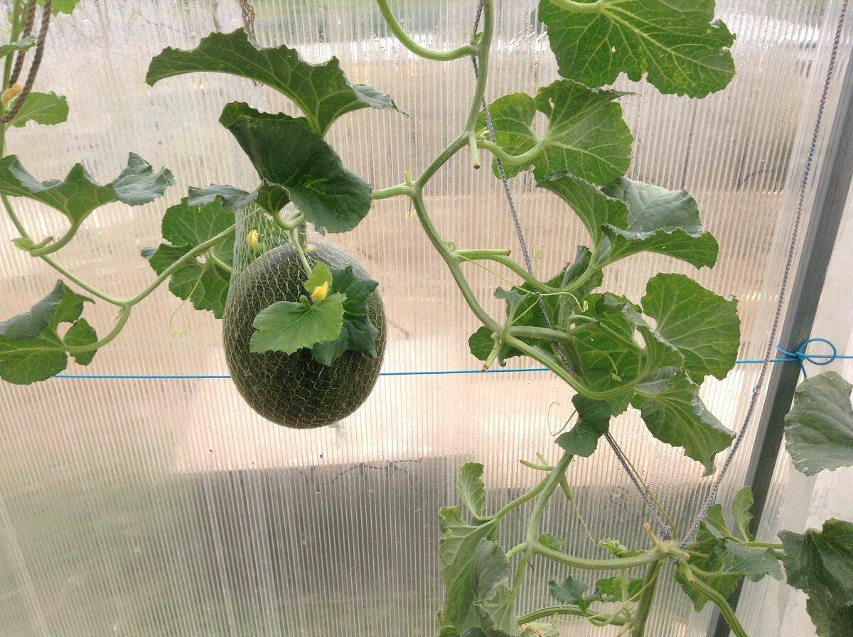 Приобрести подходящий сорт арбузов для выращивания в теплице можно в любом специализированном магазине