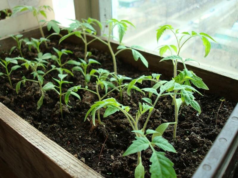 Перед посадкой томатов следует заранее прогреть грунт до комфортной температуры