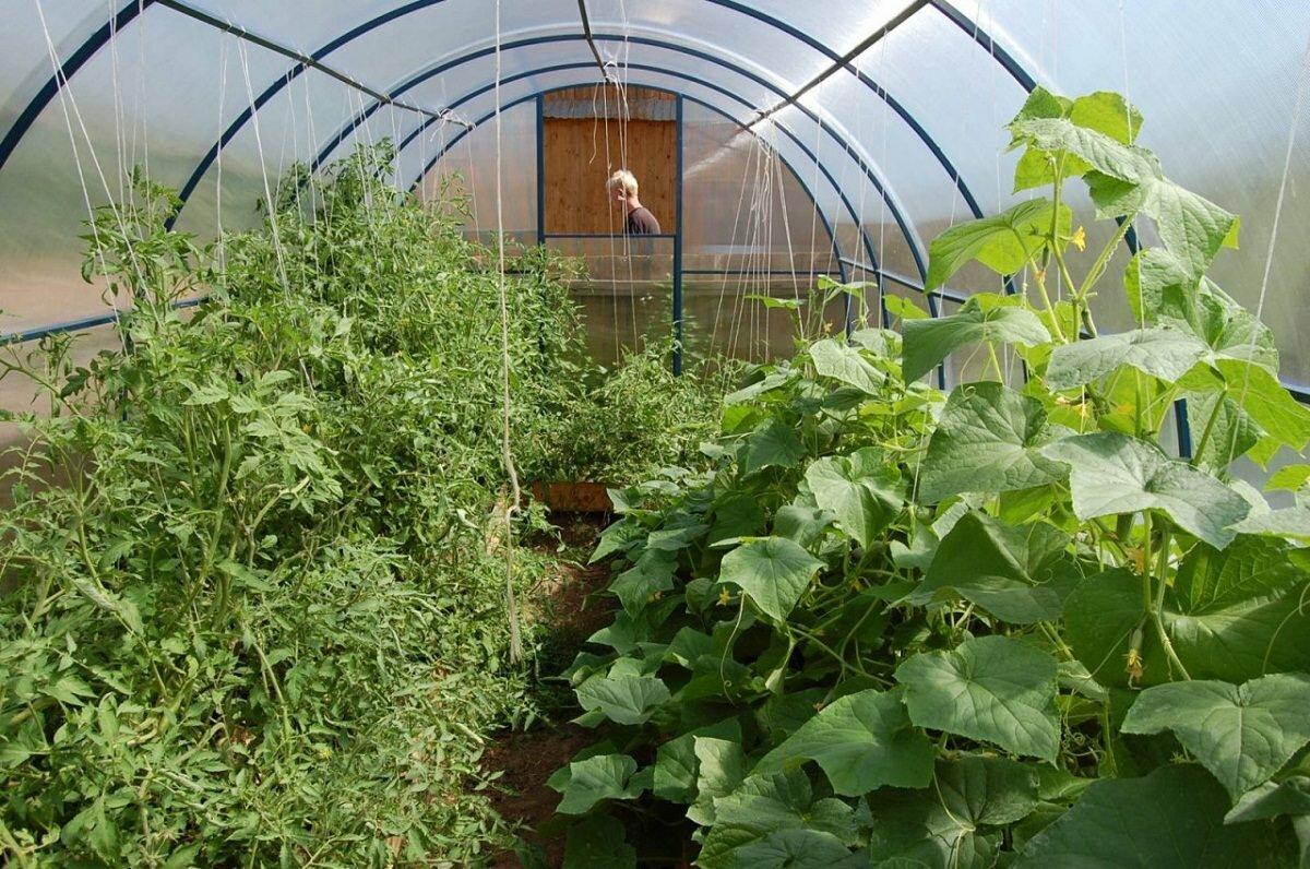 В одной теплице отлично уживаются вместе огурцы и помидоры
