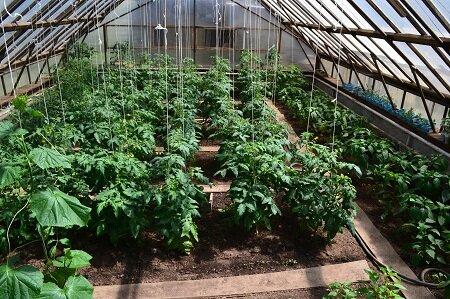 В одной теплице можно садить различные овощные культуры, однако для этого необходимо достаточно места