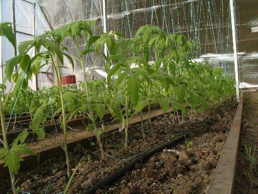 Опытные огородники отмечают, что на рост растений влияет и правильная посадка рассады