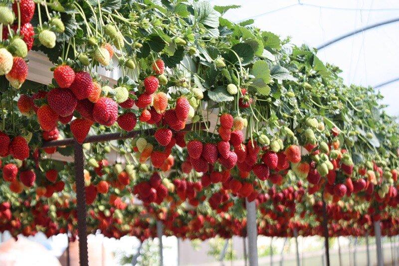 Выращивание клубники в теплице интересует многих огородников