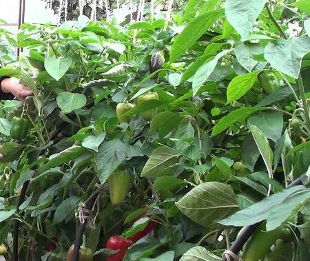 Высокорослые сорта перца отлично подходят для выращивания в теплице