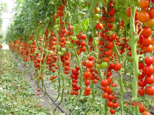 Индетерминантные — это самые лучшие урожайные помидоры для выращивания в теплицах. Они имеют вид высокорослых лиановидных кустов. Эти помидоры в теплице дают самый большой урожай