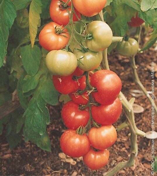 Выбирать сорт томатов дачники стараются по хорошим отзывам и его урожаю