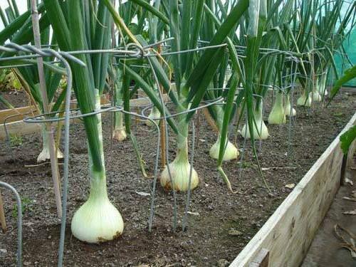 Вырастить зеленый лук в теплице несложно, поэтому с этим заданием справится даже новичок