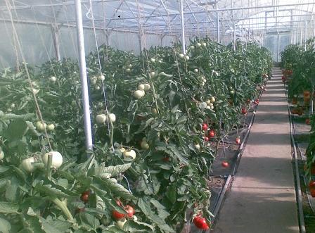Выращивание помидоров в теплице на продажу является прибыльным бизнесом