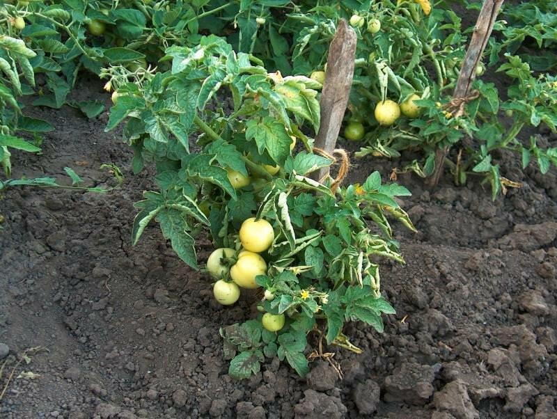 Черный хлеб можно использовать в качестве подкормки для помидор