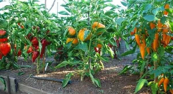 Выращивание болгарского перца в теплице пользуется большой популярностью