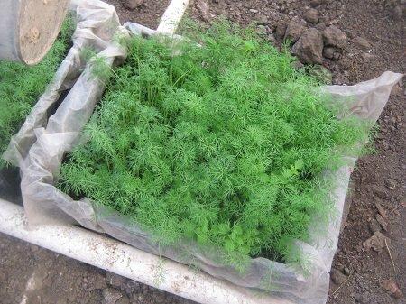 Перед началом выращивания укропа в теплице стоит ознакомиться с рекомендациями специалистов