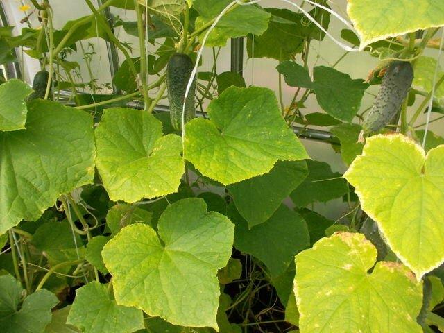Если на листьях появились неприглядные пятна, значит есть повод для беспокойства