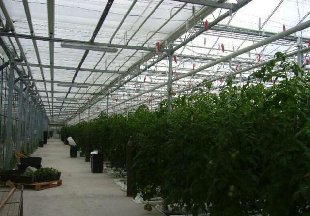 Промышленные теплицы позволяют выращивать различные культуры