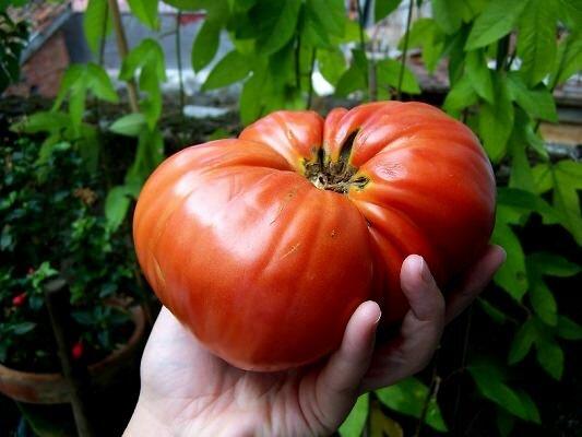 На сегодняшний день многие садоводы предпочитают заниматься выращиванием болгарских помидор, поскольку они невероятно вкусные