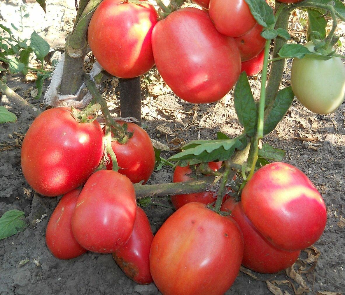 Плоды томатов Новичок имеют нежный вкус и приятный аромат