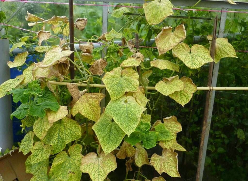 сколько листьев оставлять на огурцах в теплице