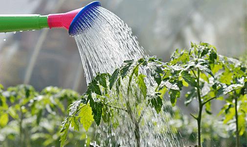 Очень важно правильно поливать плоды, чтобы питательные вещества дошли до корней