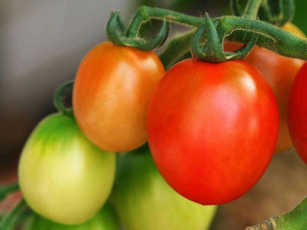 Томат Новичок отлично подходит для выращивания как на открытой почве, так и в парнике