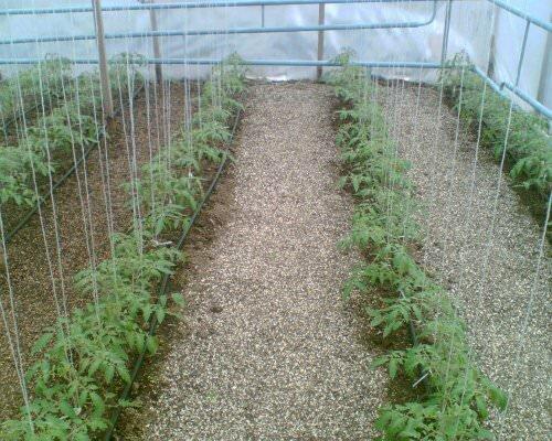 какие помидоры посадить в теплице в сибири