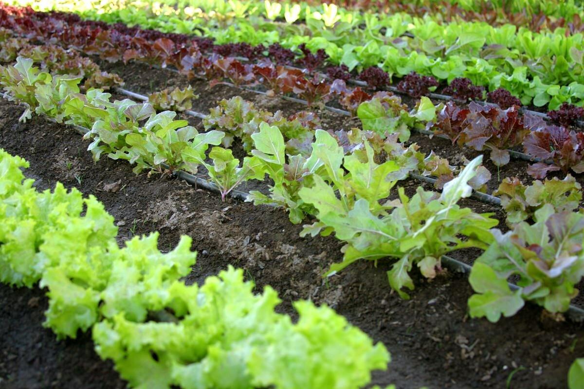 Для посадки в теплице в августе отлично подходит салат