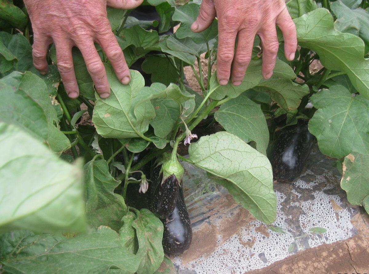 Благодаря пасынкованию можно увеличить количество и качество будущих плодов