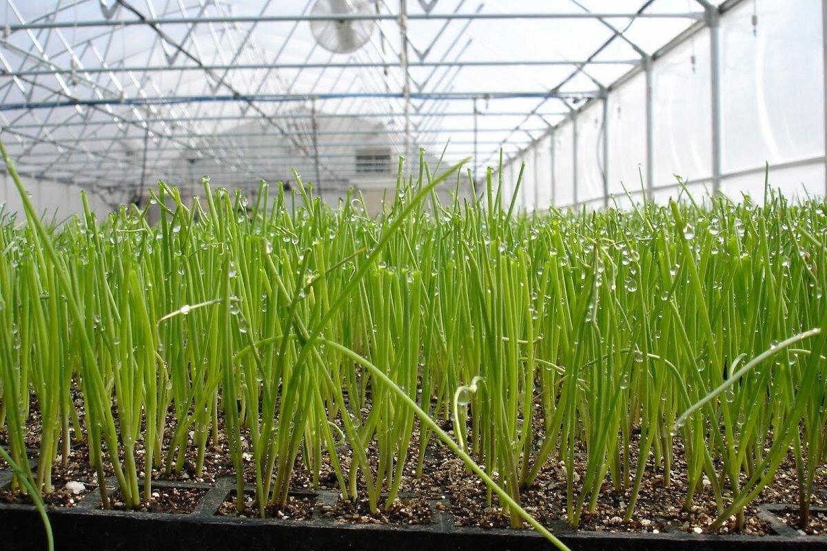 Чтобы ускорить рост зелени в теплице, следует ее подкармливать с помощью удобрений
