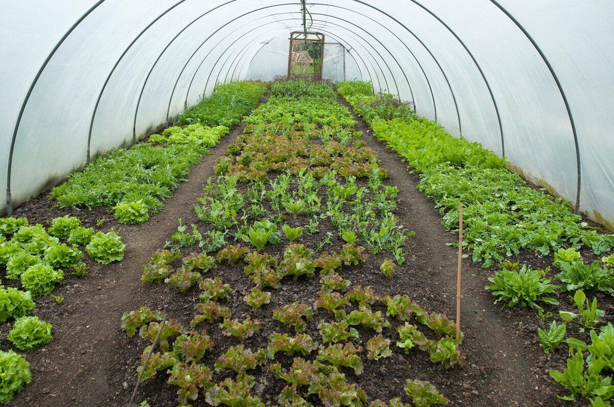 Между зеленью в теплице стоит протоптать дорожки, чтобы было удобно собирать урожай